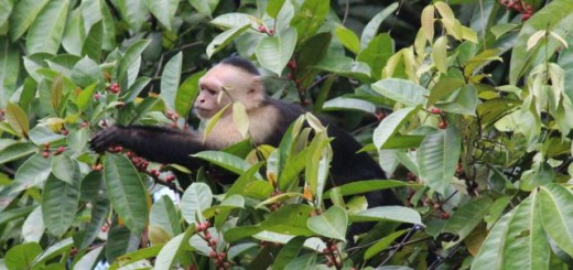 Breakfast for this White-throated Capuchin provided a great view - the best berries were out in the open.