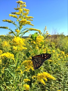 Monarch butterflies travel thousands of miles to winter in Mexico. This monarch was spotted in Cincinnati, Ohio during the late summer preparing for the long journey.
